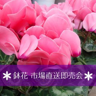 新鮮鉢花即売会